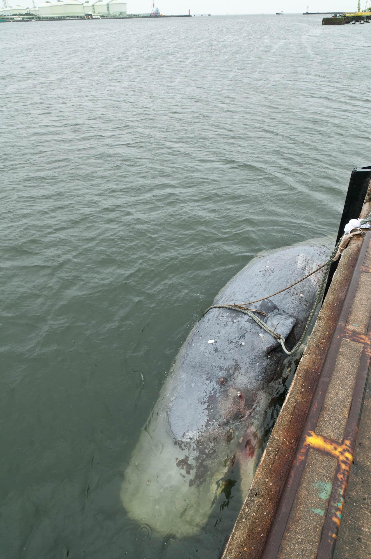 マッコウクジラの画像 p1_21