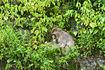 葉っぱを食べる箕面の猿
