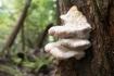 立ち枯れ木に生えていたサルノコシカケ…