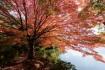 菖蒲谷池の北側には何本かカエデのおお…
