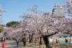 姫路城は桜が有名なだけあってそこら中…