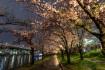 雨上がりの桜宮へと夜桜を見に来ました…