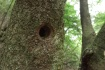 箕面によくいるコゲラ(キツツキ)の巣…