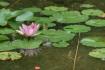 蓮の花のそばにせっかくカエルがいたの…