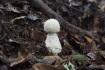すぐ近くにあったシロオニタケの幼菌。…