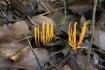 黄色いソウメンタケを発見。近くにはシ…