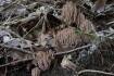 ヒメホウキタケがいっぱい。落ち葉が邪…