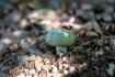 今日はアイタケの幼菌を発見。数見つけ…