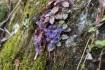 キランソウが真っ青な花を咲かせていま…