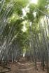 春の京都と言えば竹林。そこら中に整備…