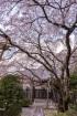こじんまりとした西迎寺に立派な桜。