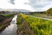 小畑川沿いは菜の花いっぱいな場所も。…